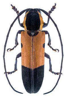 Tragocephala mniszechi