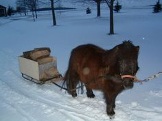 Miniature horse, Bullet helps haul wood in Aylmer, Ont. Sent in by MyNews contributor Ann Donkers.     http://mynews.ctv.ca