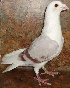 Homing Pigeons, Aka Racing Homers, Rare & Common Colored in Mechanicsburg, Ohio - Hoobly Classifieds