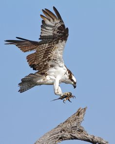 Osprey landing with a fish.