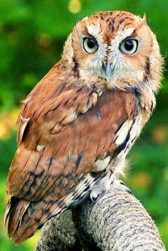 Eastern Screech Owl I Writer Mariecor I WriterMariecor.com