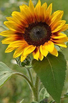 Sunflower - Tournesol by Nicole Gerin Meloche / Sunflower Garden, Sunflower Art, Sunflower Fields, Sunflower Quotes, Sunflower Pictures, Exotic Flowers, Beautiful Flowers, Sun Flowers, Sunflowers And Daisies