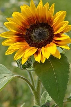 Sunflower - Tournesol - A sunflower in Wyoming, USA