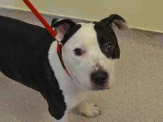 GONE 5/8/2015 --- Manhattan Center SALVATORE – A1034625 **DOH Hold**  NEUTERED MALE, BL BRINDLE / WHITE, AMERICAN STAFF MIX, 4 yrs OWNER SUR – ONHOLDHERE, HOLD FOR DOH-HB Reason NYCHA BAN Intake condition EXAM REQ Intake Date 04/28/2015