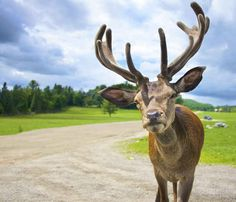 Reindeer - Montebello, Quebec, Canada
