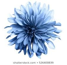 Find dahlia stock images in HD and millions of other royalty-free stock photos, illustrations and vectors in the Shutterstock collection. Thousands of new, high-quality pictures added every day. Blue Flower Png, Light Blue Flowers, Colorful Flowers, Vintage Flower Backgrounds, Vintage Flowers, Royalty Free Images, Royalty Free Stock Photos, Flower Images Free, Stock Flower