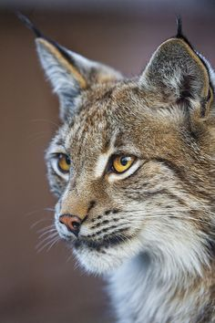 A nice lynx portait | I could get close of this very pretty … | Flickr