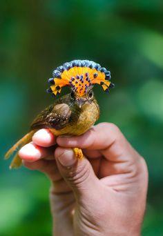 Uccelli/ pigliamosche Reale Amazzonico?(Onychorhynchus Coronatus Coronatus-Amazonian Royal Flycatcher):