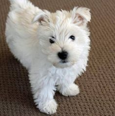 I love westies, cutest dogs Ever!  :-)