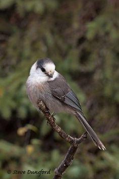 Grey Jay by Steve Dunsford on 500px
