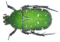 Glycyphana moluccarum