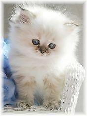 Doll Face Himalayan kittens