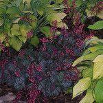 100_1676Shade Garden,Landscape Design,Hosta,Heuchera by nuthousehosta