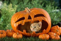 CAT 02 RC0002 01 © Kimball Stock Portrait Of Red Tabby Cat Peeking Out Of Jack O' Lantern