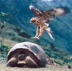 Tortoise II