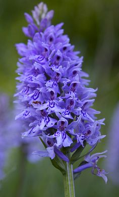 Common spotted orchid in full bloom