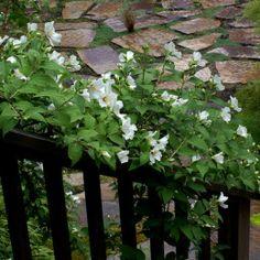 Mock Orange 'Belle Etoile': Single White, Highly-Scented, 2 Inch Flowers