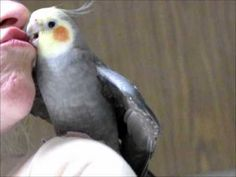 NEW - Cockatiel Talking, and telling the world how it is.