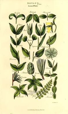 Antique print: picture of Botany - leaves of plants -