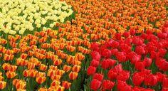 Holland's famous flower fields
