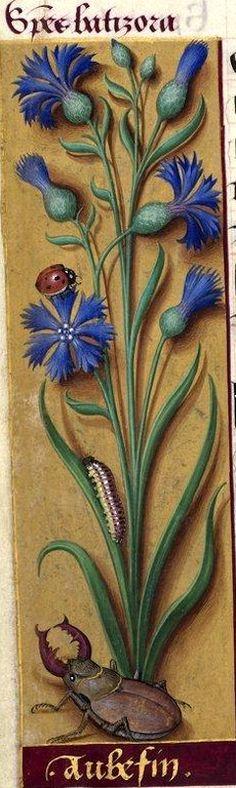 Aubefin - Species batizora ( Centaurea cyanus L. = bleuet) -- Grandes Heures d'Anne de Bretagne, BNF, Ms Latin 9474, 1503-1508, f°55v