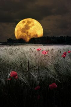 This has got to be one of the most beautiful moon images out there. Moon and a poppy field. Beautiful World, Beautiful Places, Beautiful Pictures, Beautiful Scenery, Beautiful Sunset, Amazing Places, Simply Beautiful, Shoot The Moon, Belle Photo
