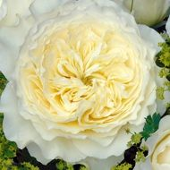Patience rose - Creamy buttermilk roses - David Austin Roses - USA