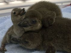 Wiinterrr's Day: Photos: 3 endangered penguin chicks born in New Orleans
