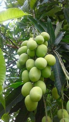 Manga (Mangifera indica L. Fruits And Vegetables Pictures, Vegetable Pictures, Fruits Photos, Fruits And Veggies, Fruit Tree Garden, Fruit Plants, Garden Trees, Fruit Trees, Fruit And Veg