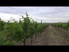What is Oenologi? Vineyard, The Originals, World, Videos, Outdoor, Outdoors, Vine Yard, Vineyard Vines, The World