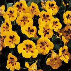 Nasturtium have a yummy horseradishy taste and are great companions for just about every type of veggie.