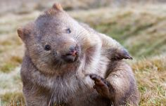 Because of their assertive personalities, wombats — marsupials who look like a cross between an oversize gopher and a walking koala — are not generally beloved in Australia.