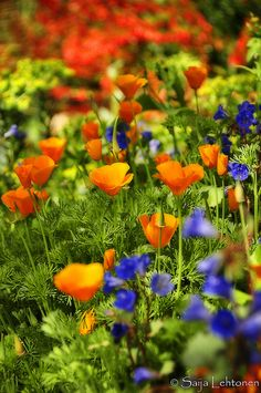 While these are Arizona wildflowers (not suited to my MidWestern zone 6 garden), the intense contrast of oranges and blues are wonderful in a full-sun garden. I'll incorporate these shades in this year's front-yard kitchen garden.