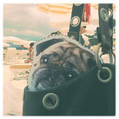 Xaver is quite a sophisticated young pug. During the summer weeks he is travelling aournd the world to learn about other cultures and enlarge his perspective. Follow the link to your homepage to get our own take-away-pug! #pug #dog #cute #travel