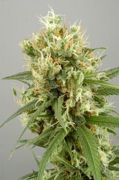 Official catalogue image of White Haze Automatic, a new auto-flowering strain from White Label Seed Co. White Haze Auto is a feminised, auto-flowering Sativa hybrid created from the original White Haze strain, which won first prize for Sativa at the 2003 Cannabis Cup!  http://sensiseeds.com/feminized-seeds/whitelabel/white-haze-autoflowering