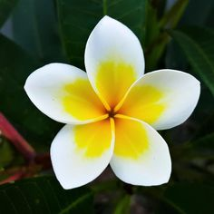 Yellow White Plumeria Potted Plants For Sale Fragrant Easy To Grow Bulbs Flores Plumeria, Plumeria Flowers, Hawaiian Flowers, Exotic Plants, Exotic Flowers, Tropical Flowers, Types Of Flowers, Beautiful Flowers, Photos Of Flowers