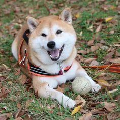 Huge smile with ball. #shiba#shibe#shibainu#shibainuuni#shibalovers#shibaoftheday#shibastagram#instashiba#lovepets#lovedogs#loveshiba#dog#doge#doglovers#uni#unistagram#dogstagram#instagood#love#tokyo#japan#happyface#unihalo#柴犬#柴犬うに#dogoftheday#ball 走り回って泥まみれ。いつもすぐ飽きちゃうのに拾い物は宝物だね。