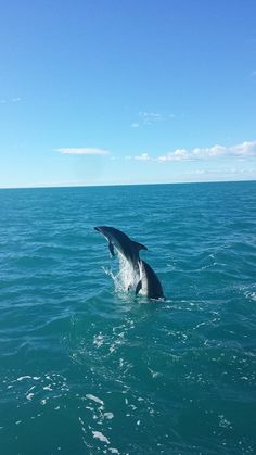 Dusky Dolphins in Kaikoura
