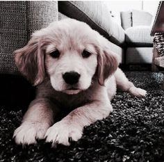 The many things I admire about the Trustworthy Golden Retriever Animals And Pets, Baby Animals, Cute Animals, Cute Dogs And Puppies, I Love Dogs, Doggies, Retriever Puppy, Cute Creatures, Dog Breeds