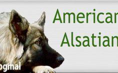 American alsatian
