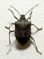 Brown Marmorated Stink Bug - Lets Trap These!  (and watch this #video to find out how to erase their smell! http://www.youtube.com/watch?v=9elYpgIEdrw=g-crec-u)