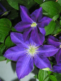 Clematis.  Did you know they have 4, 5, or 6 petals.  Life Is a Garden Party available from WestBowPress.