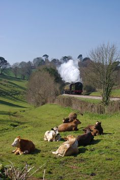 """Devon, England - """"Cows Relaxing ~ In The English Countryside,"""" with the Great Western Steam Train in the backgound ~ Photo By: William Spencer. Country Farm, Country Life, Country Living, Country Roads, Land Girls, British Wildlife, Farm Yard, English Countryside, Train Tracks"""