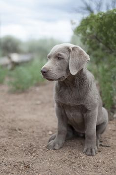 © Caitlin Elizabeth Photography | Labrador Retriever puppy