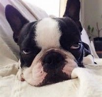 Image result for funny boston terrier pics