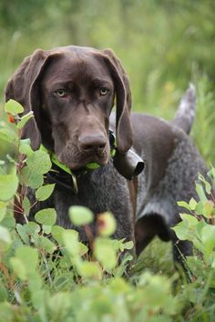 German Shorthaired Pointer - Eye Spy! …