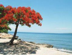 Puerto Rico Plants and Trees | Flamboyant Tree Fast Blossom - Cafe de Puerto Rico
