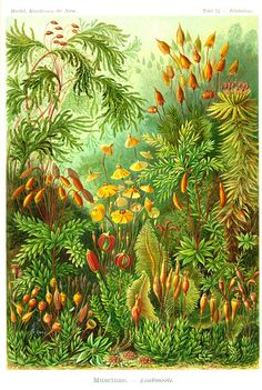 Ernst Haeckel's scientific illustrations from Art Forms in Nature / Muscinae