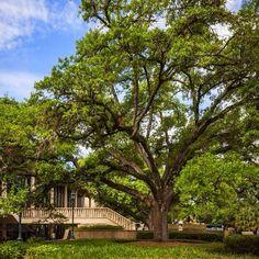 Stately oak. #LSU