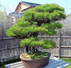 A typical bonsai in Saitama, Saitama Prefecture (Toshihiro Yamanaka)